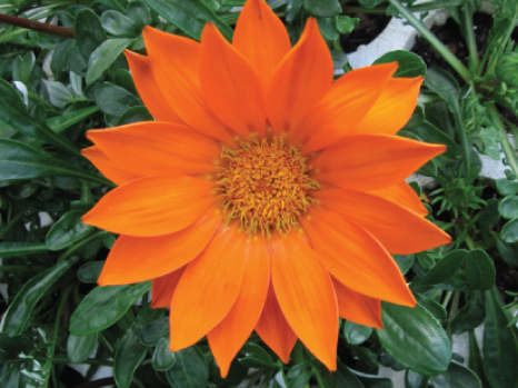 Gazania orange