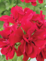 Pelargonium Red