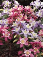 Aquilegia Mckana's giants