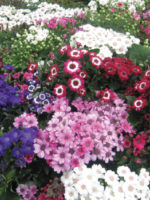 cineraria spring glory