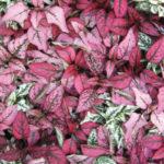 Hypoestes Polka dot plant