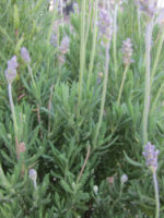 Lavandula Dentata French Lavender