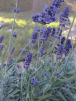 Lavender Ellagance