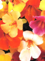 Mimulus Monkey Flower