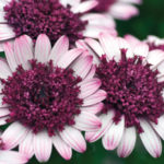 osteospermum-double-berry-white