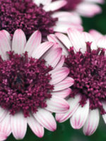 osteospermum-double-berry-white