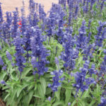 Salvia Farinacea Mealy Sage