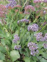 Statice Perezzii Sea Lavender