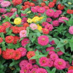 zinnia-magellan-mixed