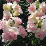 Antirrhinums-Double