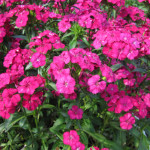 dianthus-amazon