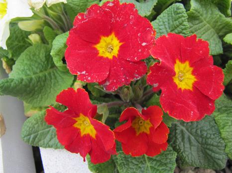 Primula Acaulis Winter Annuals Primrose