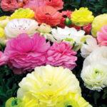 ranunculus-mache-pastel-mixed