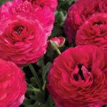 Ranunculus Mache Rose