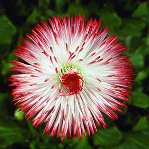 Bellis habanera white with red tips nu leaf nursery bellis habanera white with red tips mightylinksfo