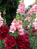 Antirrhinums-madame-butterfly