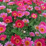 Argyranthemum Daisy Bush