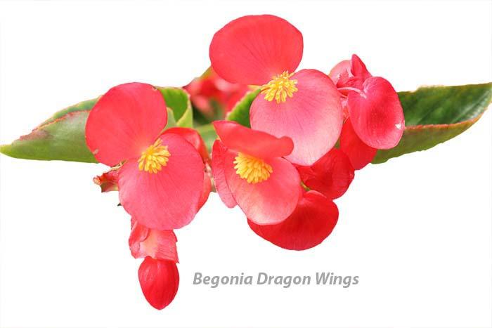 Begonia Dragon Wings
