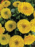 Calendula yellow