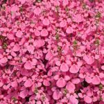 Diascia light pink
