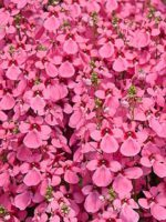 Diascia light pink