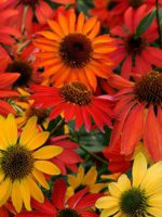 echinacea-tall-pink