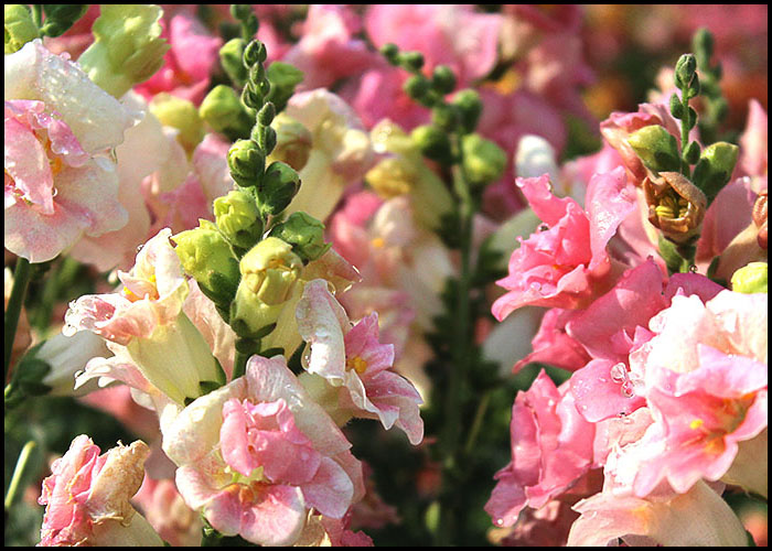 Antirrhinum Apple Blossom