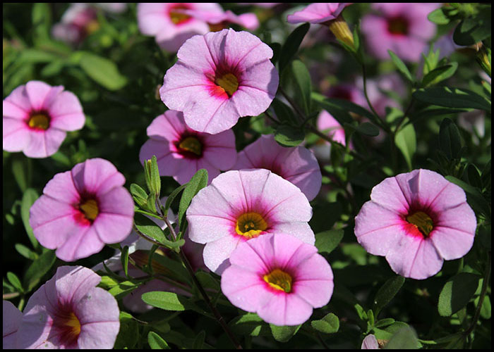 Calibrachoa Pink with Red Eye