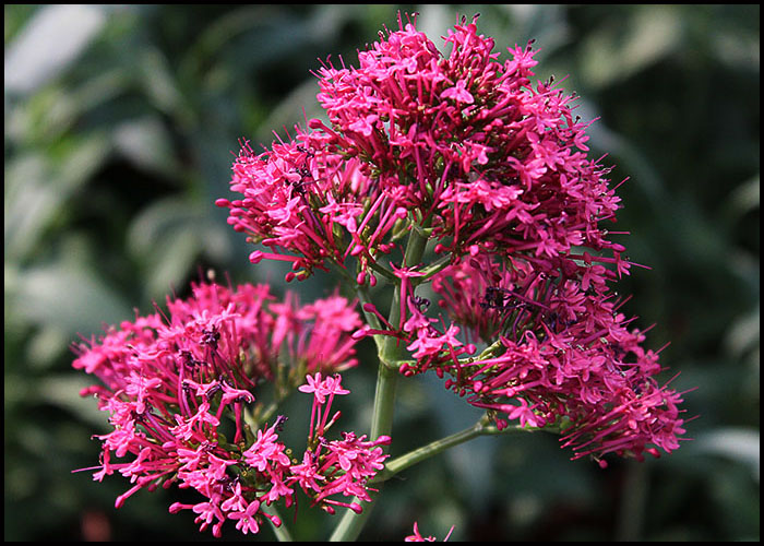 Centranthus Ruber Pink