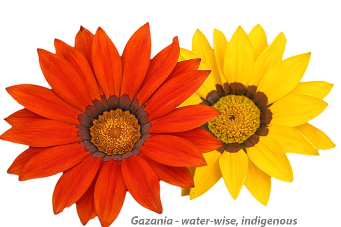 Gazania Yellow and Orange