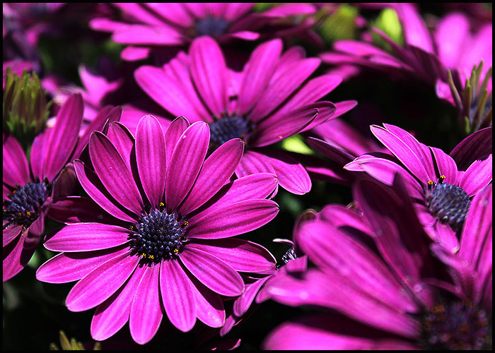 Osteospermum Dark Purple
