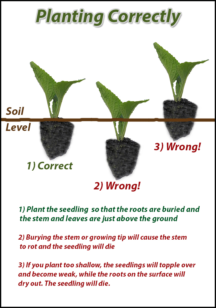 How to plant seedlings correctly