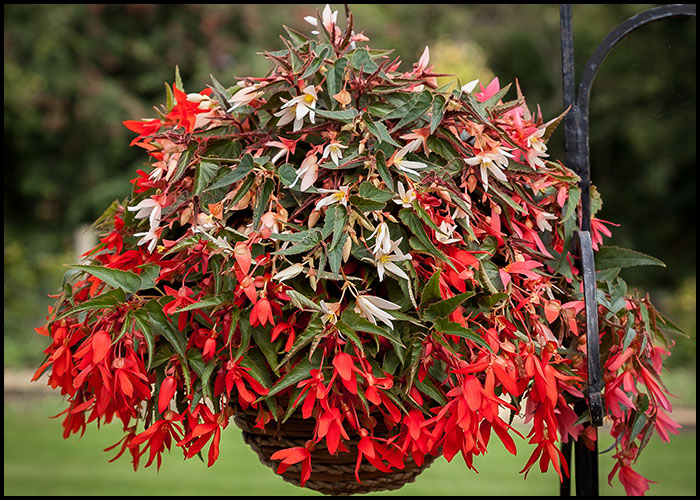 Begonia Bossa Nova Mixed
