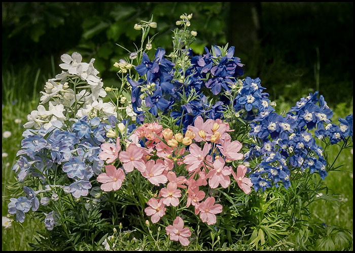 Delphinium Summer Series Mixed