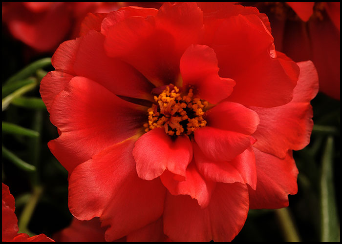 Portulaca Happy Hour Deep Red