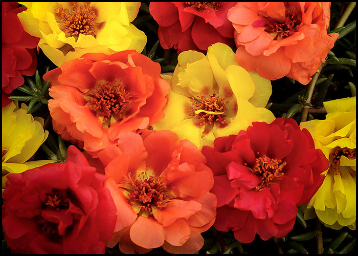 Portulaca Happy Hour Tropical Mix