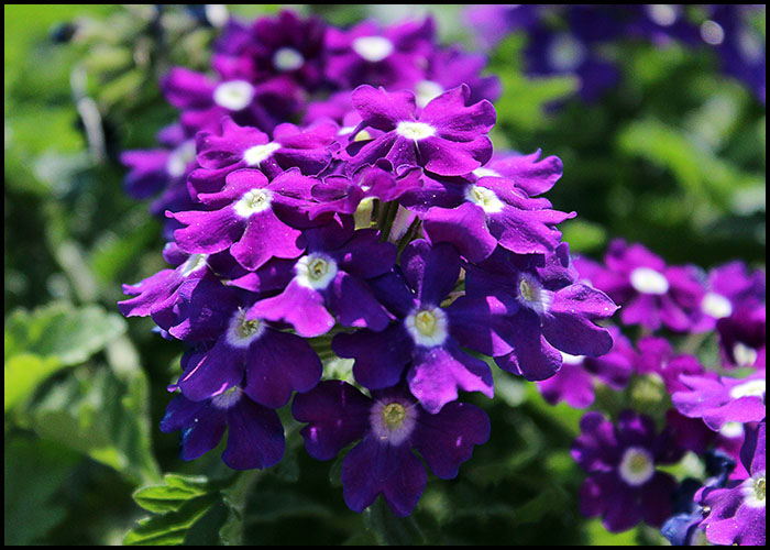 Verbena Dark Blue