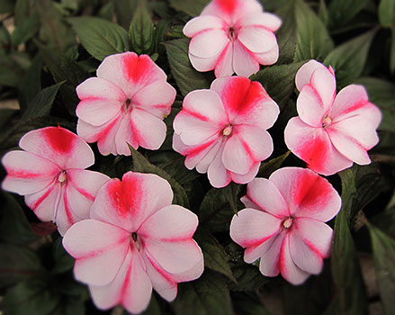 New Guinea Impatiens Summer Annuals Harmony