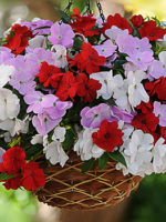 impatiens nuleaf total mixed