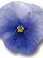 Pansy Clean Sky Blue