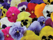 Pansy Total Mixed