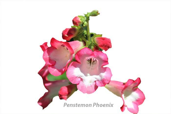 Penstemon Phoenix copy