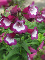 Penstemon Arabesque Series