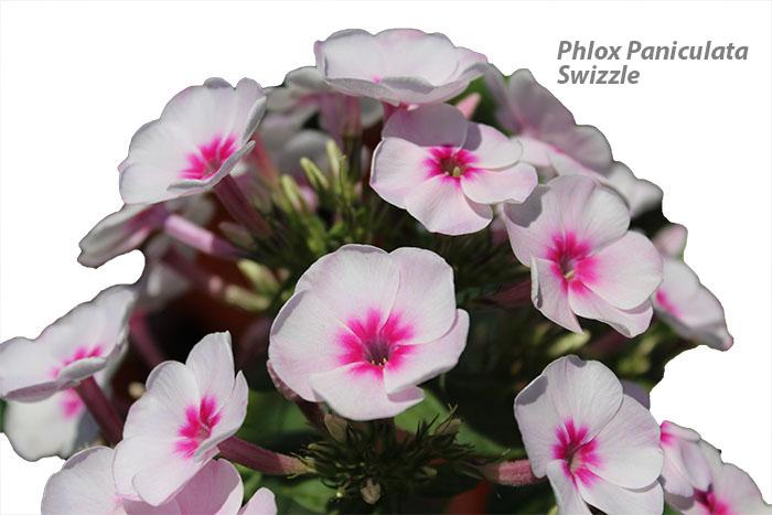Phlox Paniculata Swizzle
