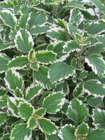 Plectranthus Madagascariens