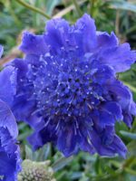 scabiosa-butterfly-blue