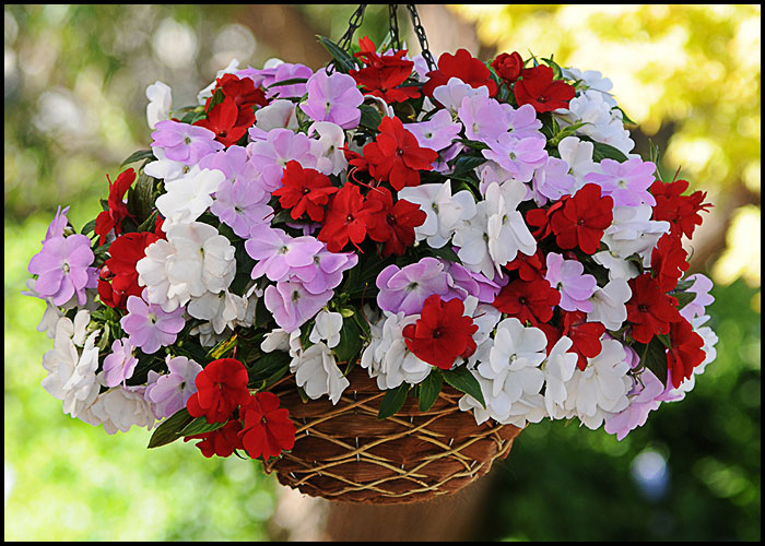 Impatiens Summer Breeze