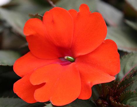 orange impatiens new guinea impatiens summer annuals sun patiens