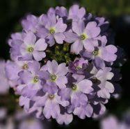Verbena Perennial