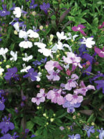 Lobelia heavenly lobelia mixed